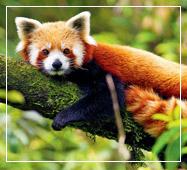 darjeeling tour package red panda
