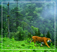 royal bengal tiger at buxa tiger reserve