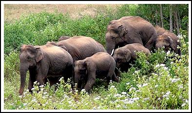 latguri elephant