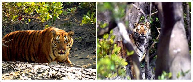 tiger safari india