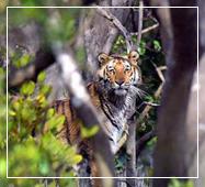 royal bengal tiger sundarban national park