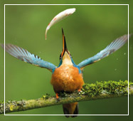 sudarban hilsa festival birding