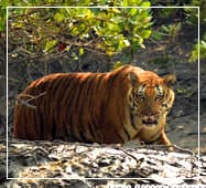 sundarban royal bengal tiger