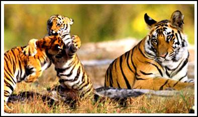 sundarban tiger family
