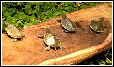 sundarban turtle